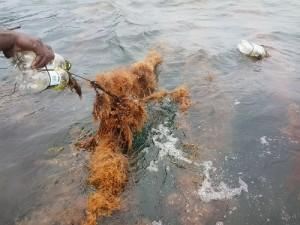 Rumput Laut di Kaimana