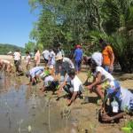 Menanam mangrove di Haruku